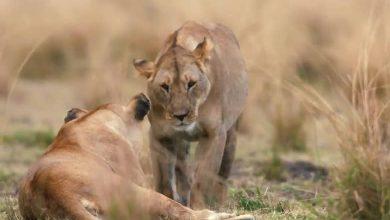 رژه شیرها در اورپن گیت آفریقا