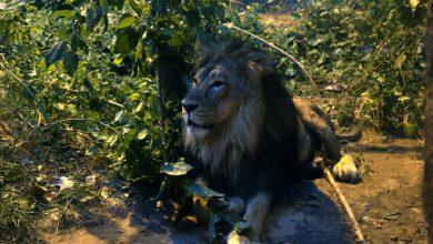 شیر باغ وحش ارم زنده می ماند