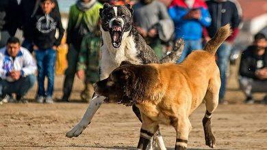 دستگیری عوامل جنگ سگ ها