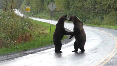 نزاع دو خرس