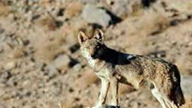 حمله گرگ به مسافران نوروزی