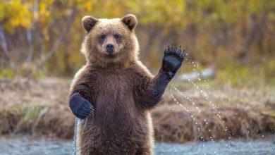 فرار خرس از باغ وحش هویزه خوزستان