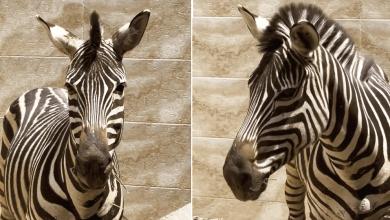 فیلم جدید از گورخر بازمانده باغ وحش صفادشت