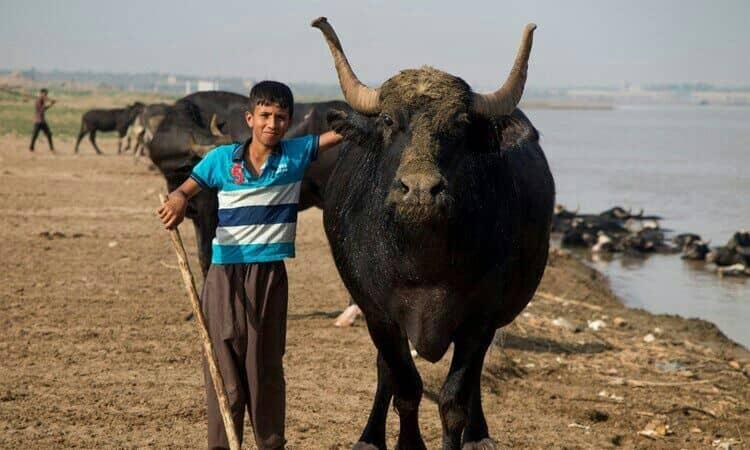 چرا گاو میش برای خوزستان مهم است؟