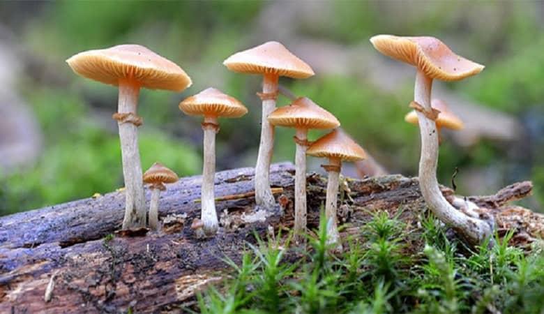 کاهش خطر ابتلا به افسردگی با مصرف قارچ